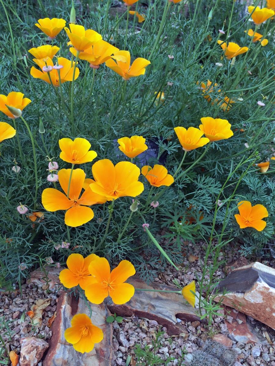 Eschscholzia californica ssp. mexicana