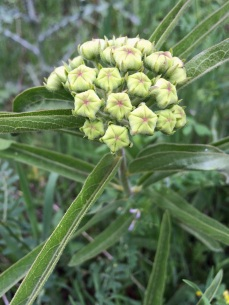 Flower with green buds