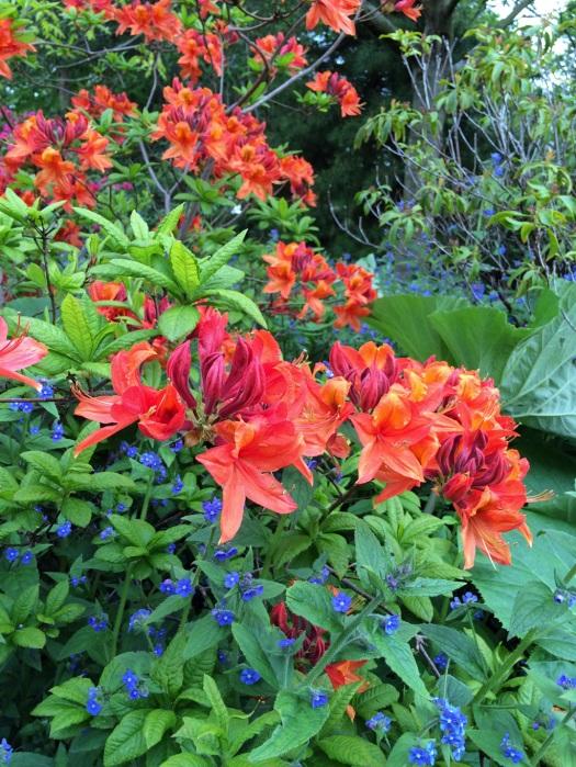 Plant combinations azaleas