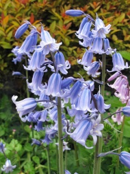 Plant combinations bluebells