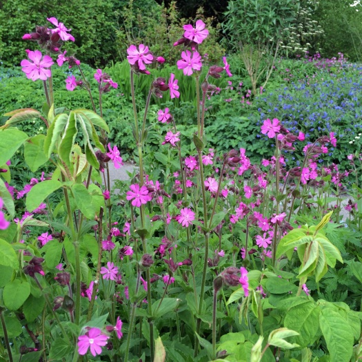 Plant combinations campion