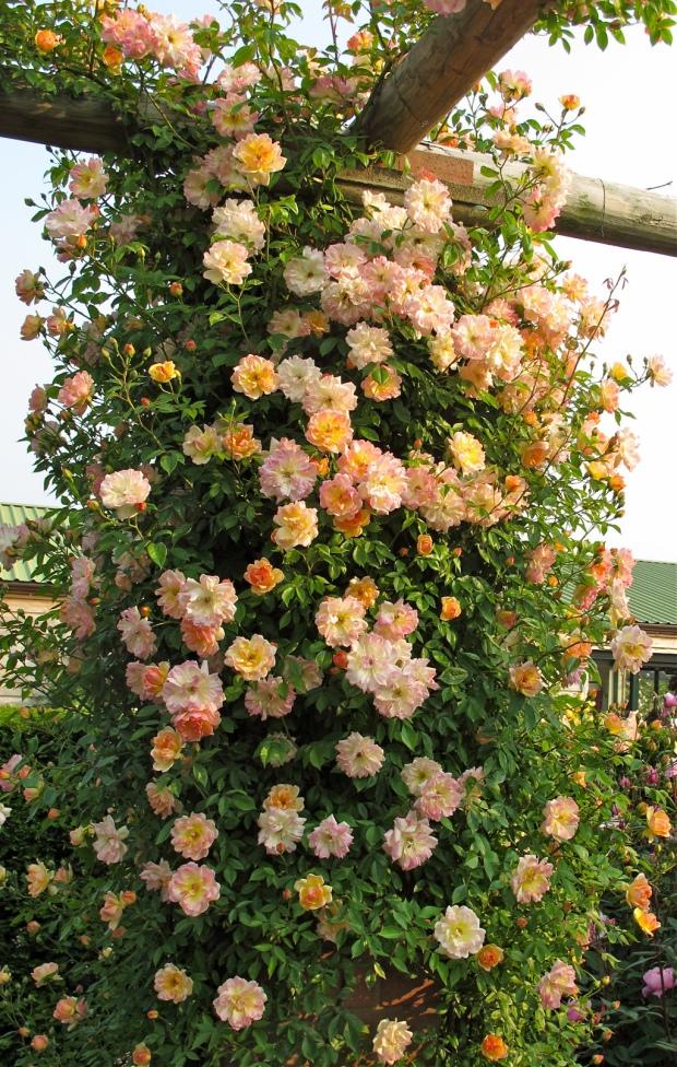 Phyllis Bide rambling rose