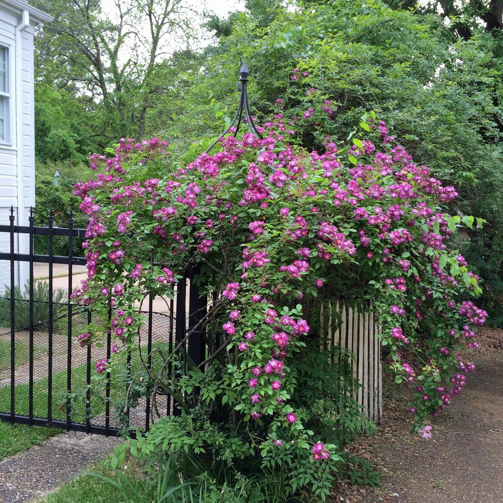 enveloped in roses susan rushton. Black Bedroom Furniture Sets. Home Design Ideas