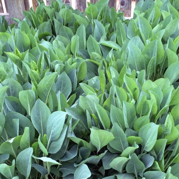 Rudbeckia maxima leaves