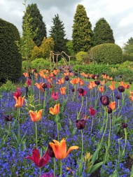 Tulips-at-Dorothy-Clive-Gardens