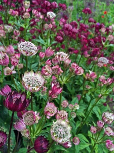 Pink and claret coloured astrantia