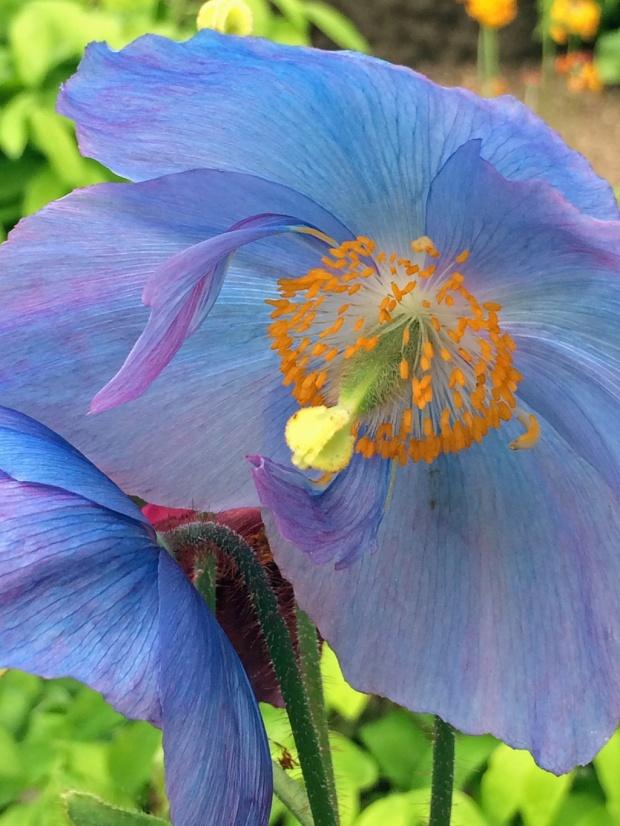 Blue-poppy-II