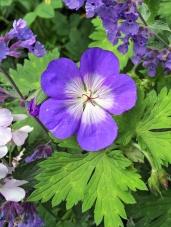 Geranium 'Buxton's Blue'