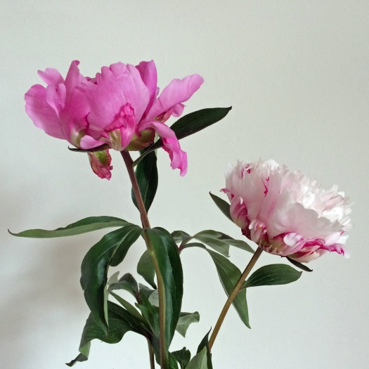 Pale and deep pink peonies