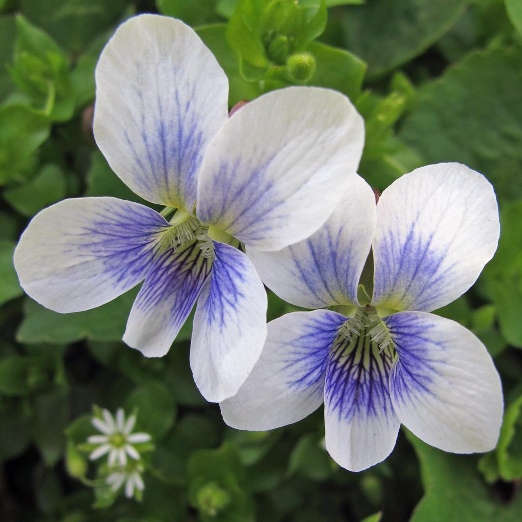 Wild Violets Susan Rushton