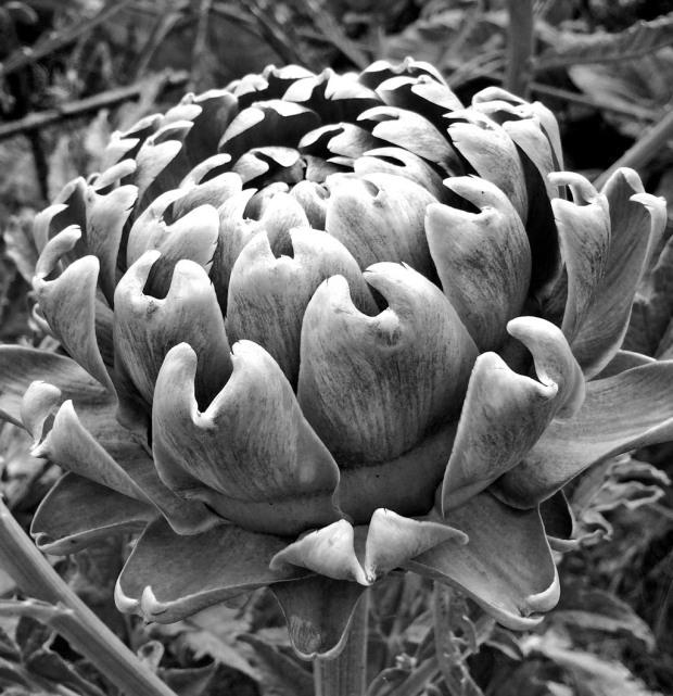 Artichoke plant b&w