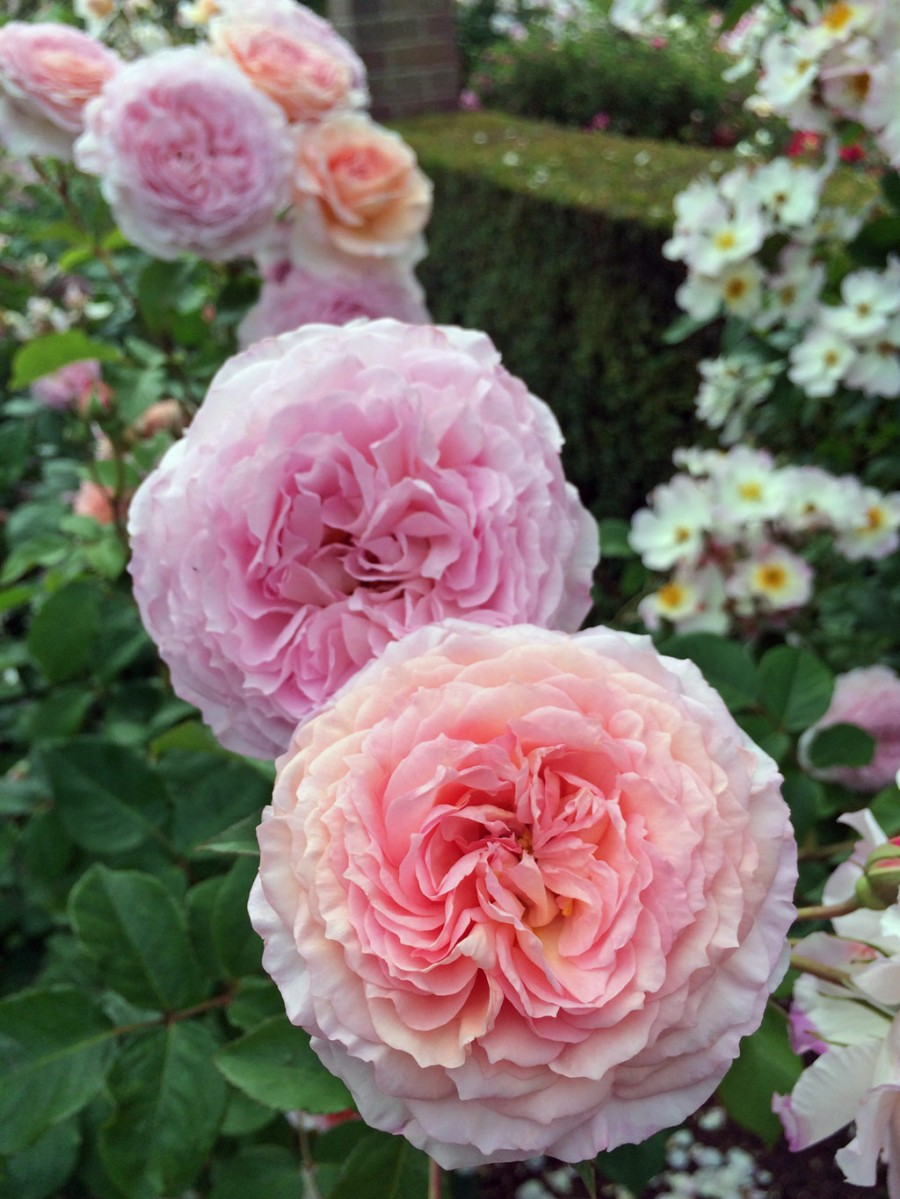 James Galway rose