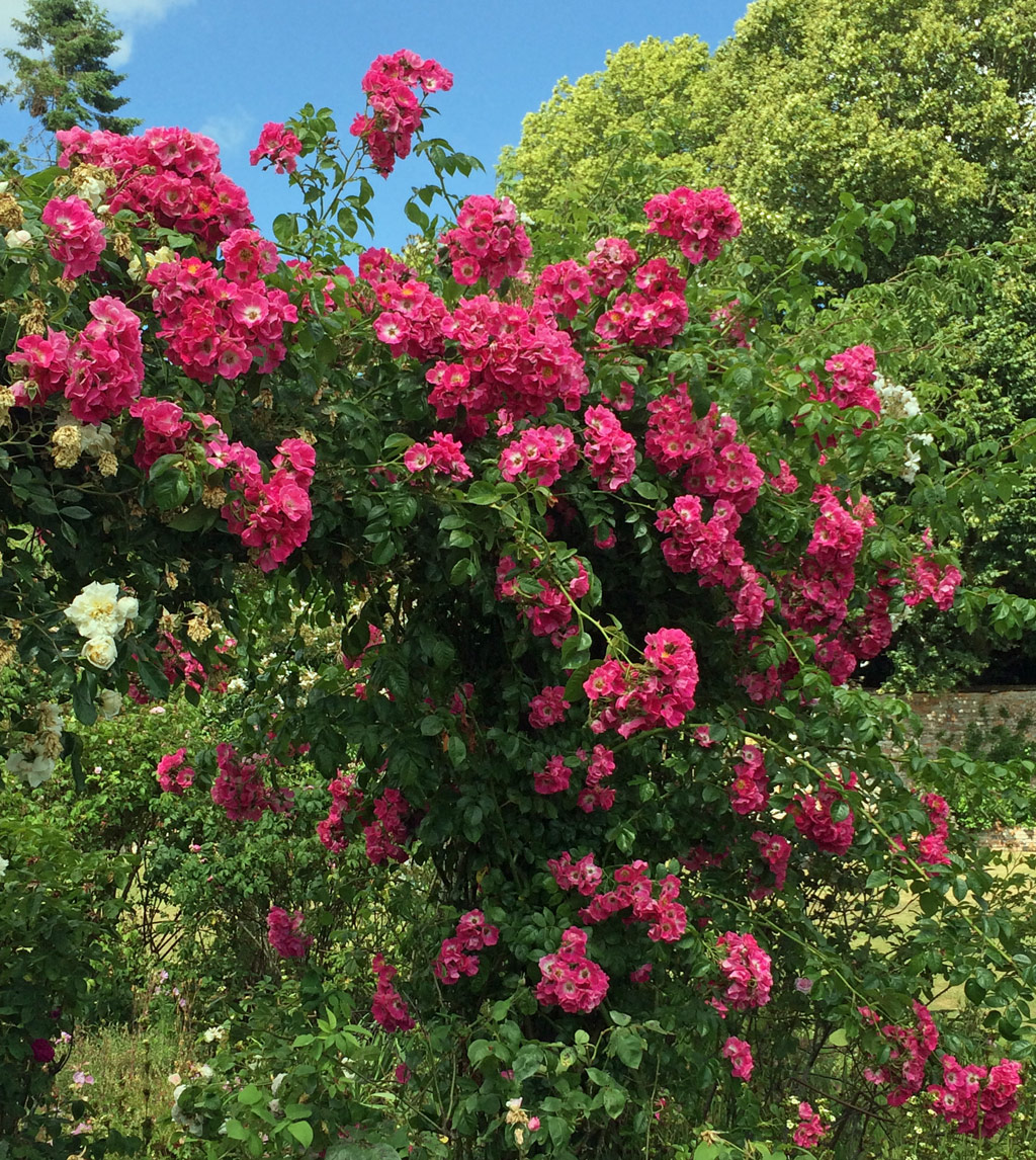 Rambling rose at Rousham