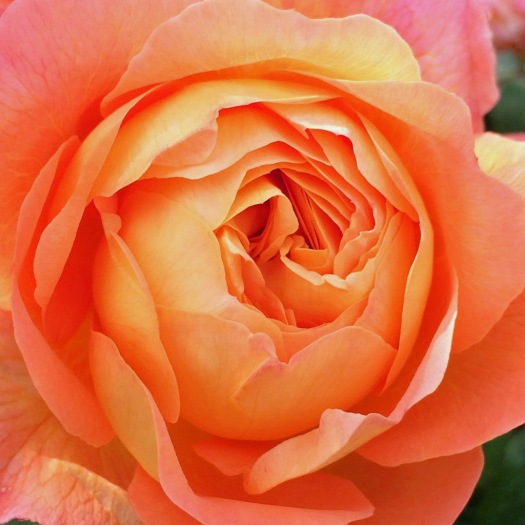 Rosa Lady Emma Hamilton close up