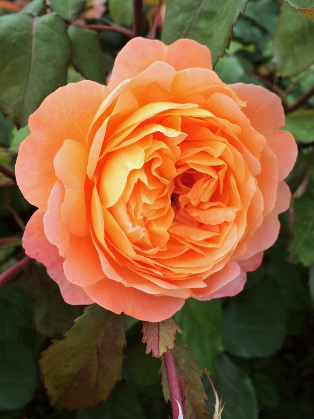 Rosa Lady Emma Hamilton