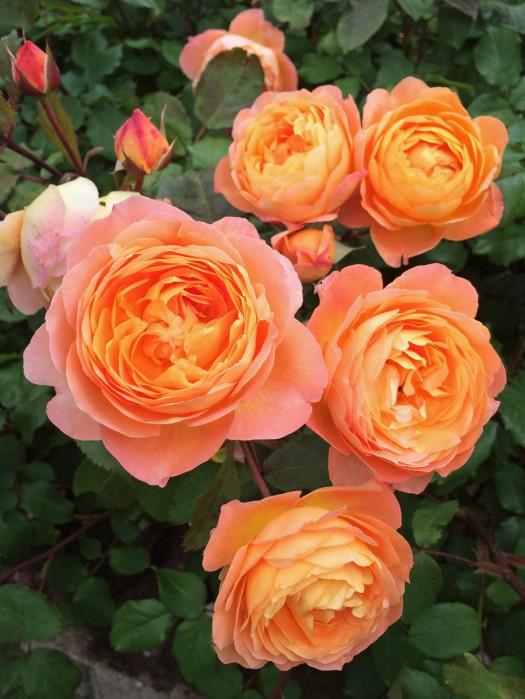Rosa Lady Emma Hamilton cluster