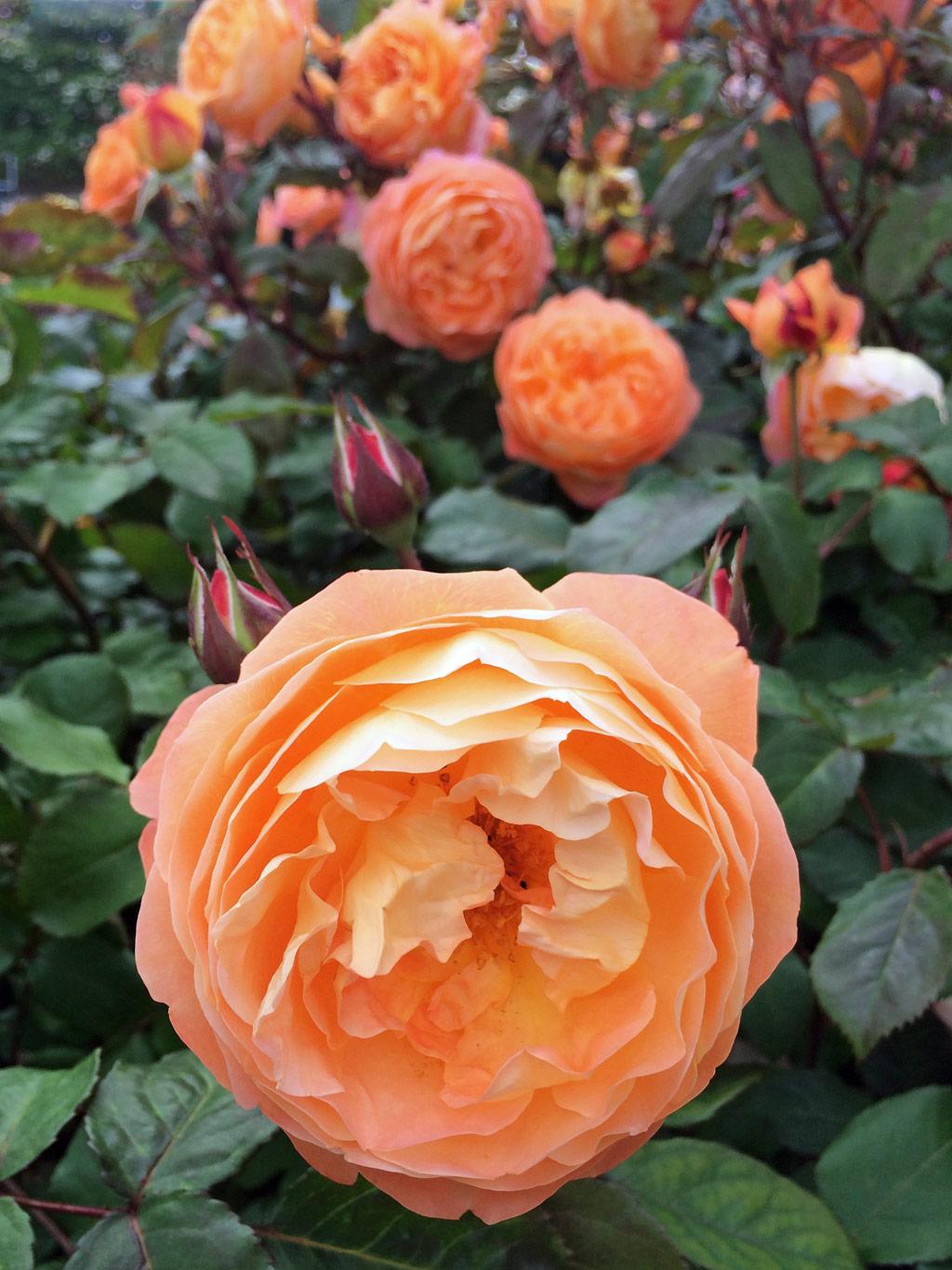 rose - photo #16