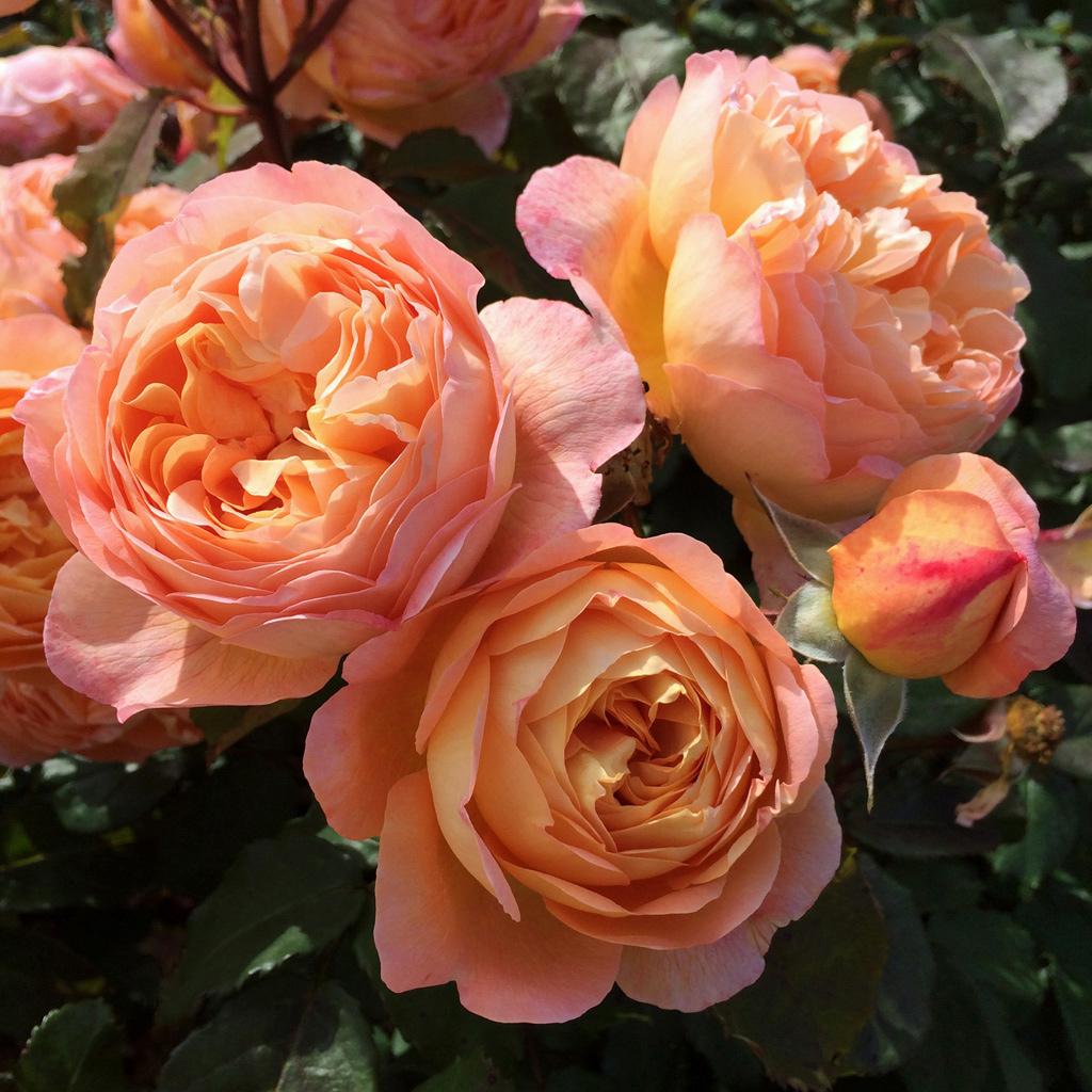 English Rose Gallery Rosa Lady Emma Hamilton Susan