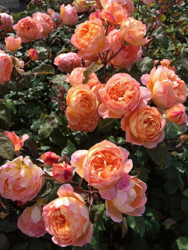 Rosa Lady Emma Hamilton shrub