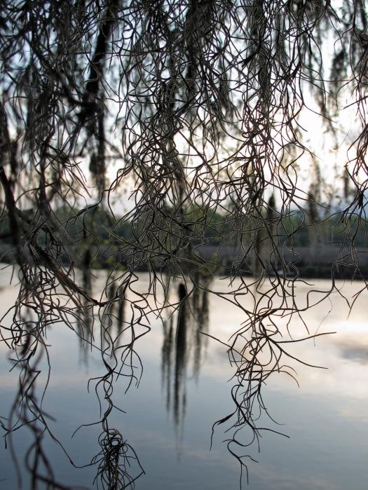 Spanish moss at Magnolia Plantation