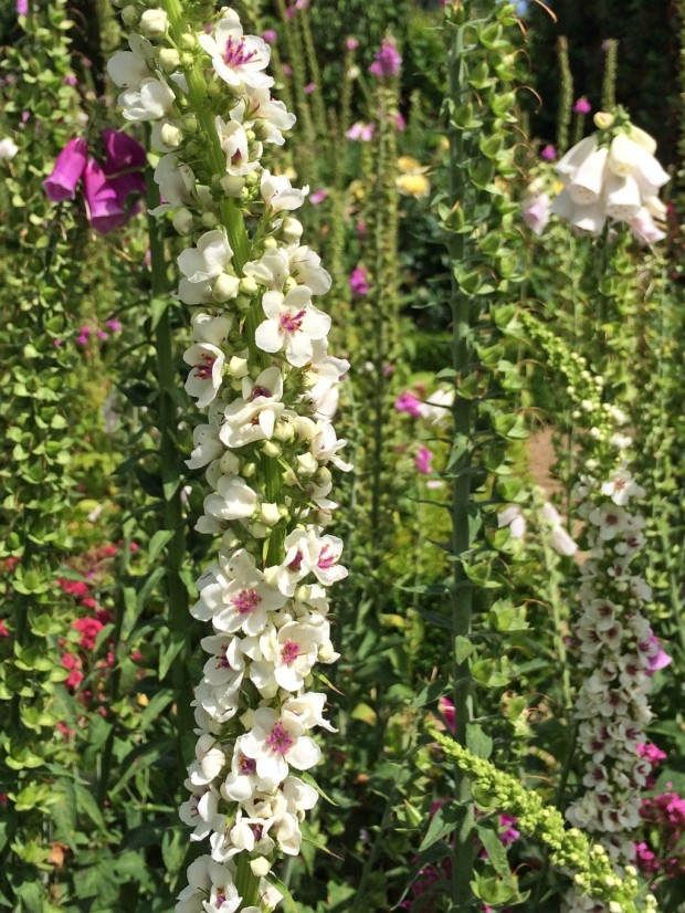 Verbascums and foxgloves