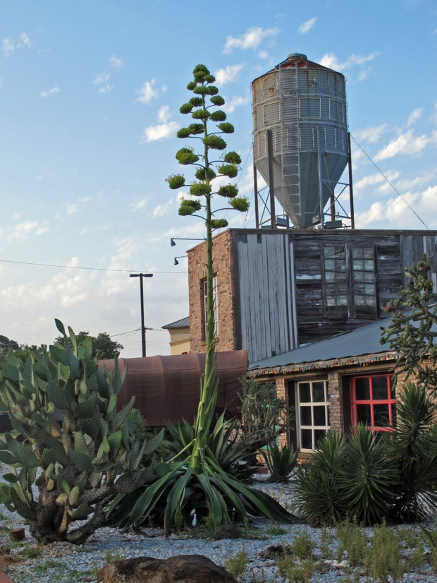 Agave americana in bloom