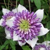 Clematis florida Viennetta