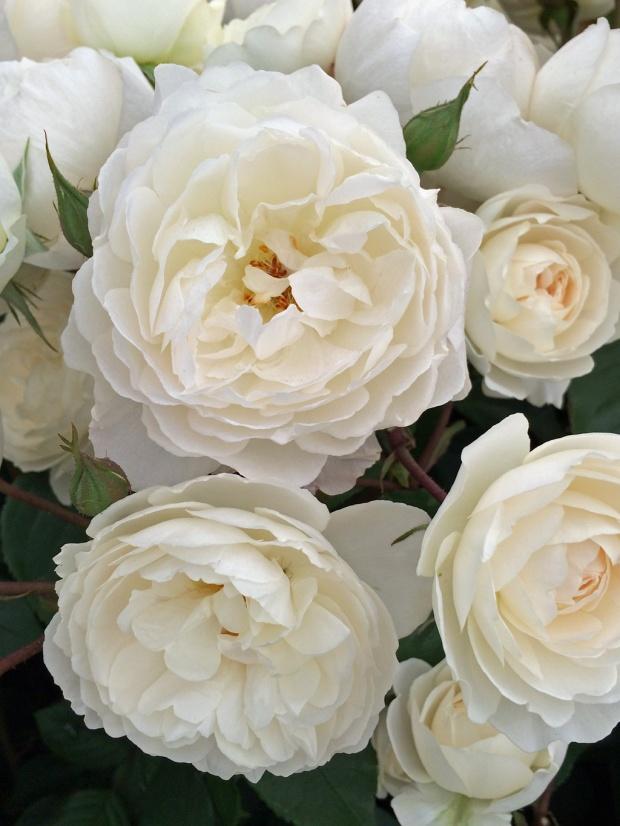 Desdemona rose