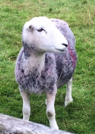Grasmere sheep