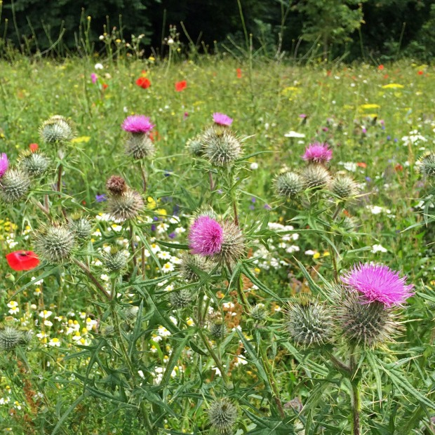 Wildflower meadow with thistles