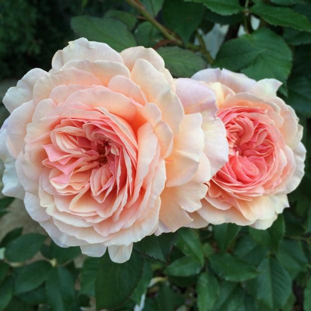 English rose: A Shropshire Lad