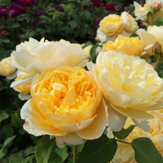 Charlotte English Rose