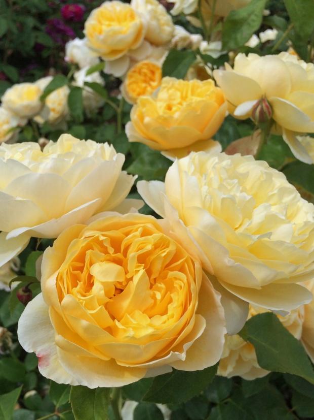 English rose 'Charlotte'