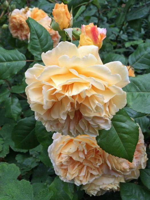 English rose: Crown Princess Margareta