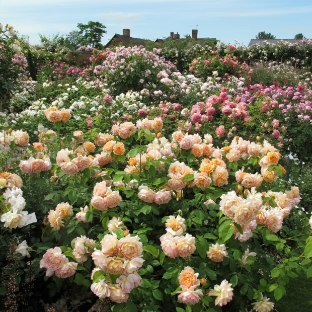 Rosa Grace in a rose border