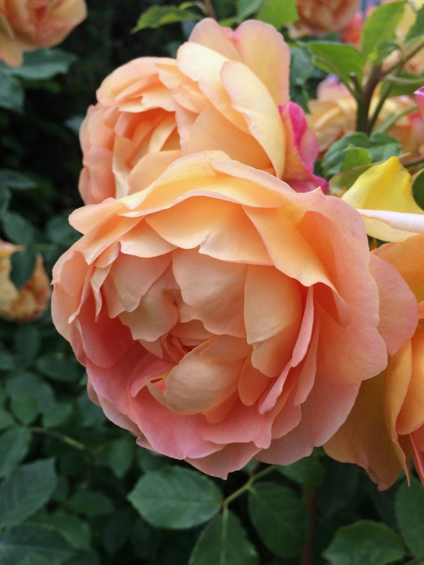 English rose: Lady Of Shalott