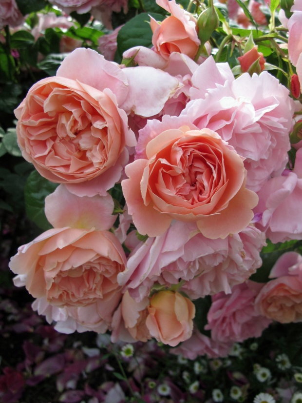 English rose: Leander