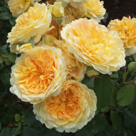 Rosa Molineux (cluster)