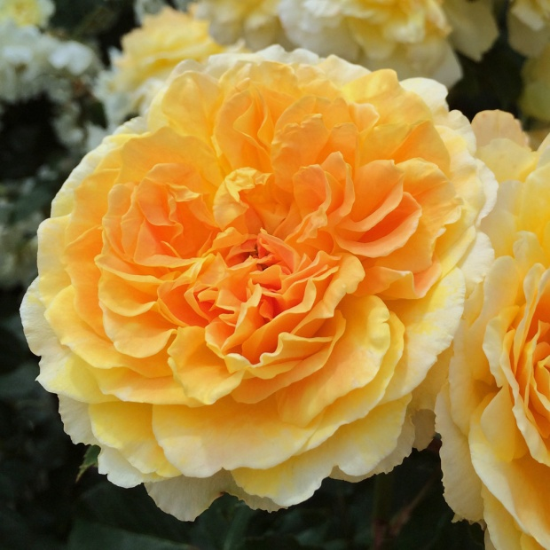 Molineux rose close up