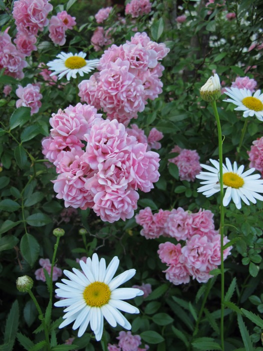 Pink roses with white daisies