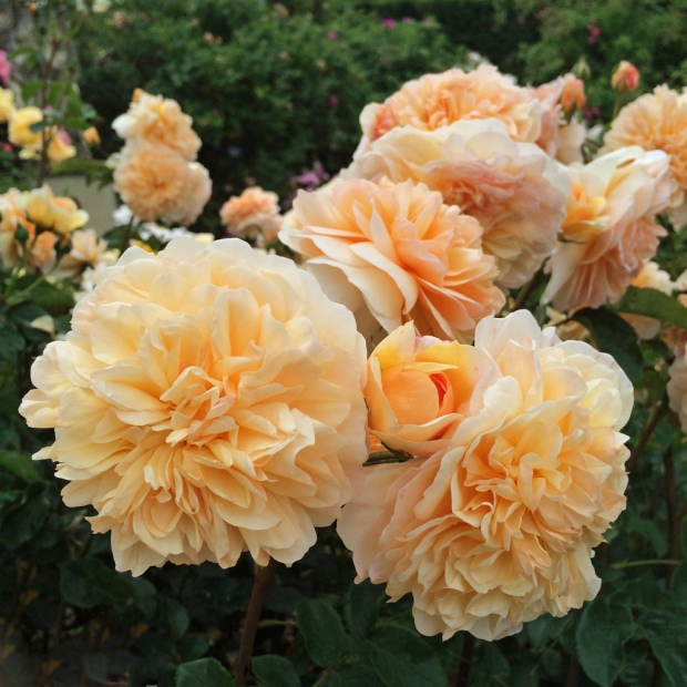 English rose: Port Sunlight