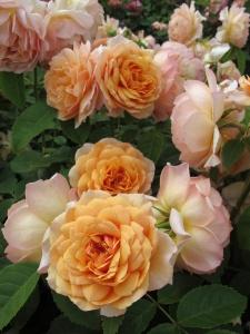 English rose: Grace