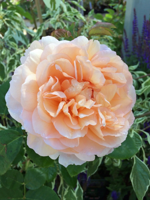 English rose: The Lady Gardener