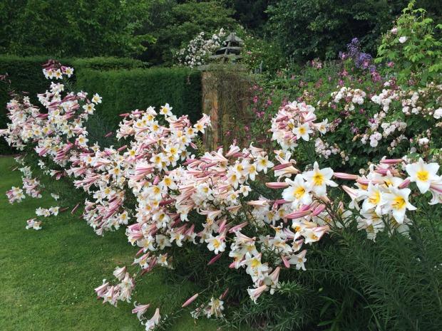 Tumbling lilies
