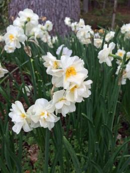 Daffodil c