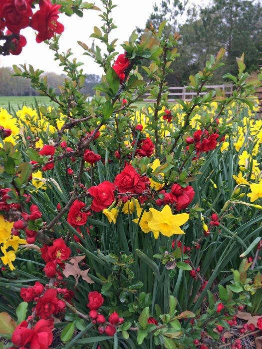 Daffodil f
