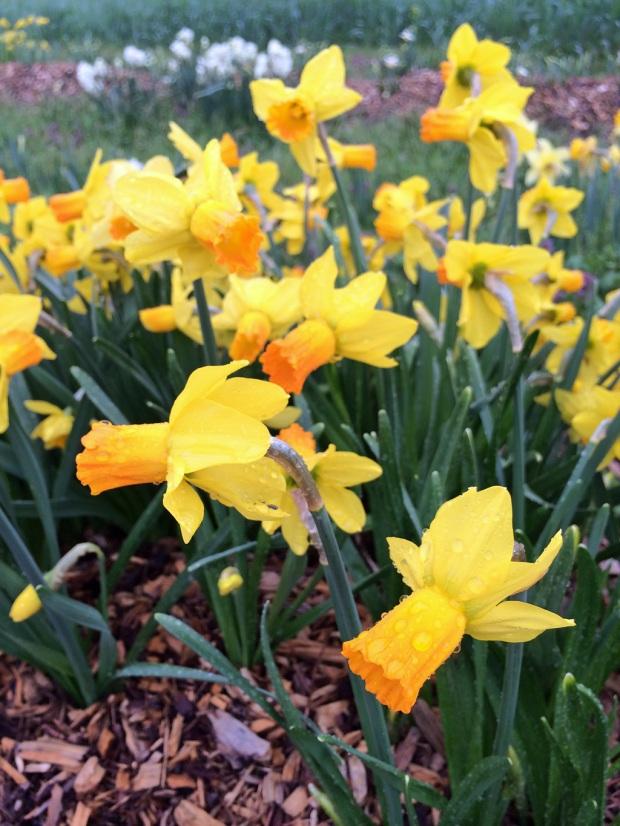 Daffodil g