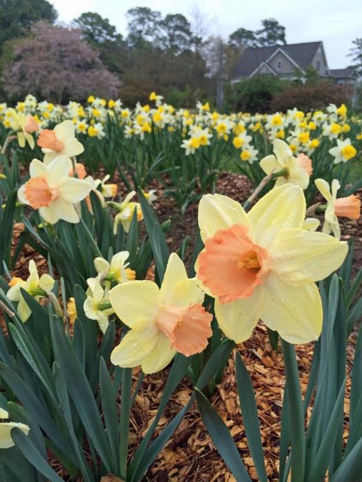 Daffodils b