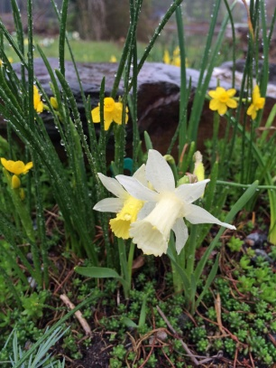 Daffodils for the rockery