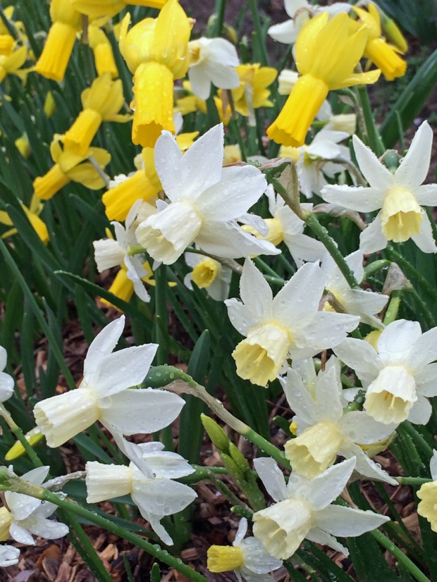Daffodils h